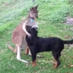 犬をなでなでするカンガルー