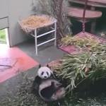 パンダ君、ハンモックからコロリと落ちて仰向けのまま遊び続ける!
