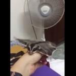 扇風機の風で飛ぶ練習をするモモンガ!