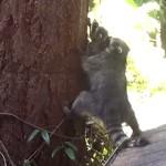 アライグマのお母さん、子供に木登りを教える!