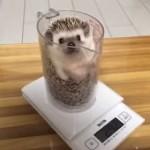体重を計るハリネズミが可愛い!