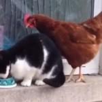 猫のゴハンを奪うニワトリに、猫の反撃11連打!