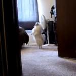 かくれんぼ楽しい!二本足で御主人様を探す犬!