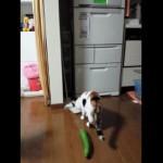 キュウリに驚く猫
