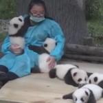 鳴きながら甘える5匹のパンダの子供