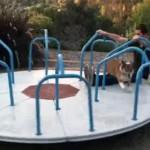 回転遊具の上で走り続けるコーギー犬!