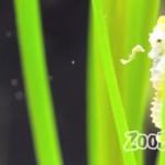 タツノオトシゴの赤ちゃん!小さくてもママと同じ形!
