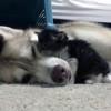 子猫の世話をするシベリアンハスキー犬