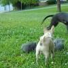 子猫を守るチワワ