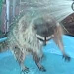 アライグマ洗われる