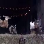 納屋から一斉に飛び出すヤギの子供たち