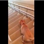 変な方法で階段を降りる犬