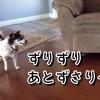 ソファに飛び乗りたい犬、何度も助走距離を確認する
