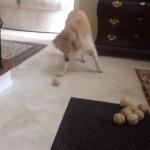 ボールの取りそこねを誤魔化す犬