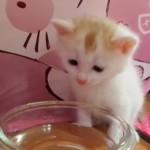 はじめて水を飲む子猫