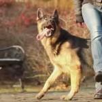 めっちゃ訓練されたシェパード犬!