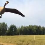 車を追いかけて飛ぶガチョウを湖まで連れてった!