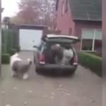 大型犬オールドイングリッシュシープドッグ6匹はワゴンに乗れるのか?