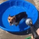 タライのプールではしゃぐコーギー犬