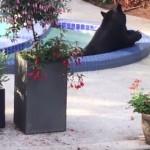 ウチのプールに熊さんが!プールで冷えた体をジャグジーで癒す熊!