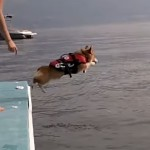 勇気を出して水に飛び込むコーギー