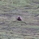 丘を転がる熊さん