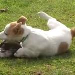 鳥と犬、仲良く遊ぶ!カササギフエガラスとジャックラッセルテリア!