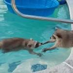 プールで泳ぐアライグマに手をさしのべるアライグマ