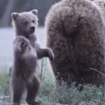 立ち上がって踊る小熊