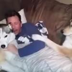 嫉妬するハスキー犬