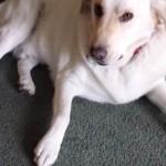 盗み食いを白状する犬