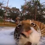 泡風呂を気に入ったトラさん2匹