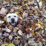 落ち葉の山で遊ぶ犬