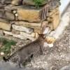 ネコお持ち帰り!隣人宅から虎のヌイグルミを拝借する猫!