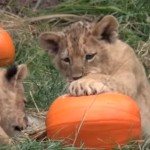 可愛い子供ライオン達、カボチャで遊ぶ!