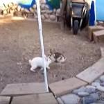 ウサギの喧嘩をヤメさせるニワトリ