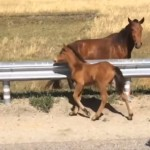 ガードレールを越えられない子馬を助ける男性