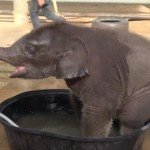 強引すぎ!小象の水遊びをヤメさせる母象!
