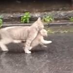 子猫をくわえて歩く親猫