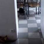 驚かせようとして驚かされる猫