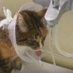 保護カラー使用中でも上手に水を飲む猫!