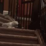 階段でボールを落として楽しむ犬