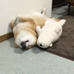 超ラブリー!仰向けでアザラシと寝る柴犬!