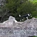 パルクールするコリー犬!飛んだり跳ねたり走ったり!