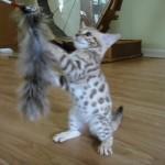 可愛さ余って白さ百倍!スノーベンガルの子猫がきゃわわすぎ!