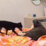 犬を足蹴に!ベッドを独占したい猫!
