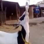 ビンの水をラッパ飲みするヤギ