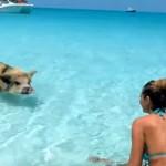 バハマの豚ビーチ!ブタさんと泳げる楽園の島!