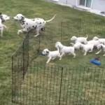 12匹のダルメシアンの子犬!ママとパパを見続ける!