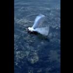 タコがカモメを水中に引きずり込む!怖すぎる捕食動画!